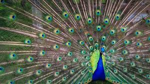 peacock ego