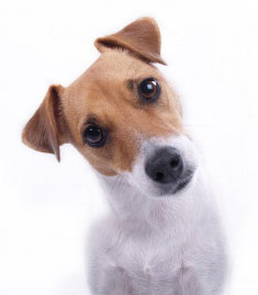 perplexed terrier